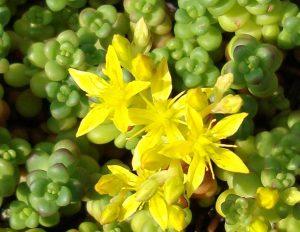 Close up of sedum plant species flowering yellow.